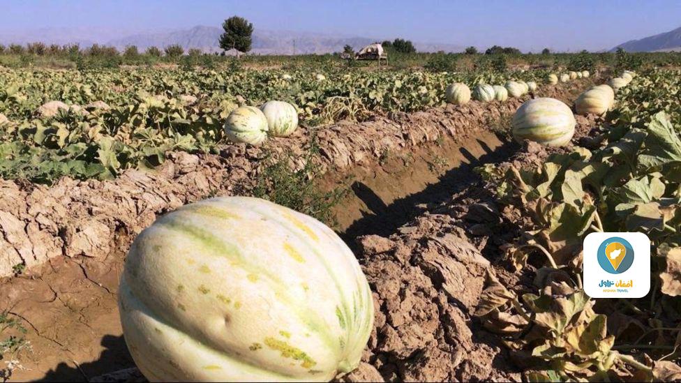 تصاویری از زیباییهای فصل برداشت خربوزه در ولایت بلخ , افغان تراول afghantravelaf